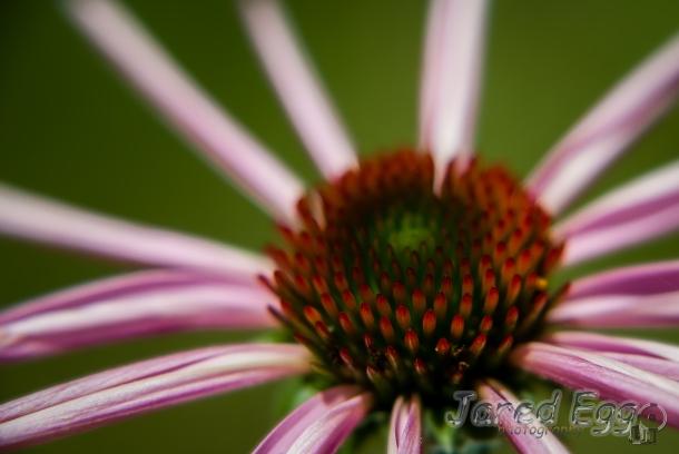 nebraska echinacea 1